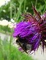 Bumblebee - Flickr - Stiller Beobachter.jpg
