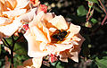 Bumblebee backrub (4296471942).jpg