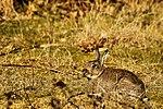 Bunny - RSPB Sandy (16682039111).jpg