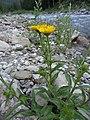 Buphthalmum salicifolium L. (7477215298).jpg