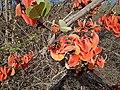 Butea blooms.jpg