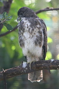 Buteo solitaries