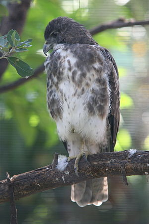 Hawaiian hawk - At Honolulu Zoo, Hawaii
