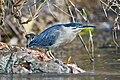 Butorides striatus - Daintree River.jpg