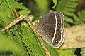 Butterflies of Talle valley - 1.jpg