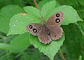 Butterfly Dryad - Minois dryas.jpg