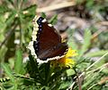 Butterfly Mammoth Lakes (20140420-0039).JPG