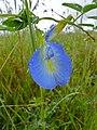 Butterfly Pea (Clitoria ternatea) (11905841776).jpg