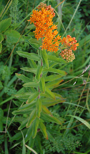 Description de l'image Butterfly Weed Whole Flowering Plant 1676px.jpg.