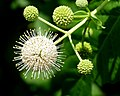 Buttonbush -- Cephalanthus occidentalis.jpg