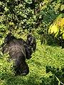 Bwindi Mountain Gorillas 2 males 2019.jpg
