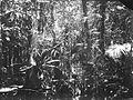 COLLECTIE TROPENMUSEUM Moerasbos met kesemekbomen en nestvarens Java TMnr 60020278.jpg