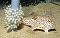 CSIRO ScienceImage 13 A Female Spotted Handfish With Eggs.jpg