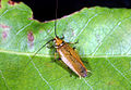 CSIRO ScienceImage 191 Ellipsidion Cockroach Order Blattodea.jpg