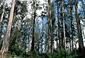 CSIRO ScienceImage 75 Mountain Ash Eucalyptus regnans Magdena Tasmania.jpg