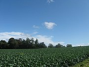 Cabbage field at Chesterhall near Longniddry in East Lothian. - geograph.org.uk - 1450627.jpg