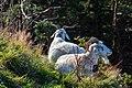 Cabras (Capra aegagrus hircus), montaña Fløyen, Bergen, Noruega, 2019-09-08, DD 26.jpg