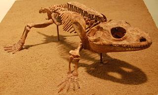 Dissorophoidea Extinct superfamily of amphibians
