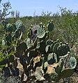 Cactus Wren Nest - panoramio.jpg