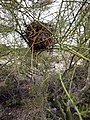 Cactus wren nest in Palo Verde.jpg