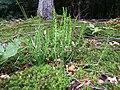 Calluna vulgaris sl28.jpg