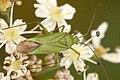 Calocoris.affinis.-.lindsey.jpg