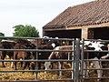 Calves in a pen at Commonside Farm, Whitemoor Lane, Osgodby Common - geograph.org.uk - 440064.jpg