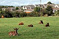 Calves near Luxulyan - geograph.org.uk - 565701.jpg