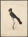 Calyptorhynchus banksii - 1789 - Print - Iconographia Zoologica - Special Collections University of Amsterdam - UBA01 IZ18600027.tif