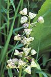 Camassia scilloides