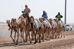Camel racing - Al-Shahaniya, Qatar's largest camel racing track