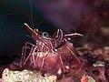 Camel shrimp (Rhynchocinetes durbanensis) (48272089916).jpg