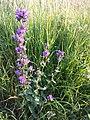 Campanula glomerata subsp. glomerata sl3.jpg