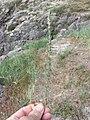 Camphorosma monspeliaca sl5.jpg
