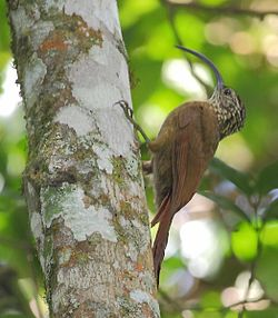 Campylorhampus falcularius - Black-billed Scythebill.jpg