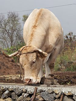 Canary Island cattle tethered.jpg