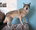 Canis lupus (taxidermied) in Bunges kapell, Åmot, Ockelbo 3880.jpg
