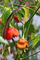 Capsicum frutescens (Tabasco).JPG