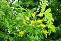 Caragana arborescens f002.jpg