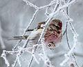 Carduelis flammea Oulu 20130106 03.JPG