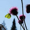 Carduus thoermeri-IMG 5629.jpg