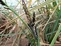 Carex acuta inflorescense (1).jpg