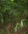 Carludovica palmata 2.jpg