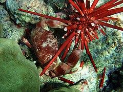 Carpilius convexus is consuming Heterocentrotus trigonarius in Hawaii.jpg