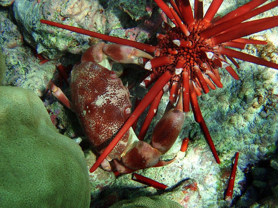 Carpilius convexus is consuming Heterocentrotus trigonarius in Hawaii
