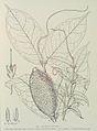 Carpodinus oocarpa-1906.jpg
