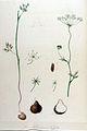 Carum bulbocastanum — Flora Batava — Volume v11.jpg