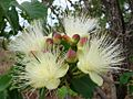 Caryocar brasiliense flowers.jpg