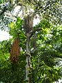 Caryota rumphiana - Fishtale Palm P1170555.JPG