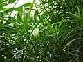 Cascabela thevetia cv. alba-1-bangalore-India.jpg
